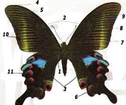 Строение крыла бабочки