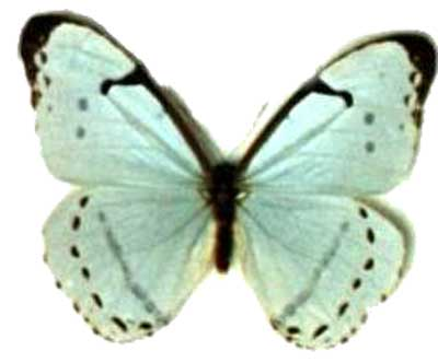 Male Motherofpearl Morpho Butterfly Stock Photo | Getty Images
