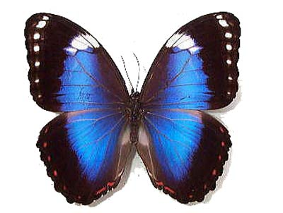 Морфо ахиллена бабочка