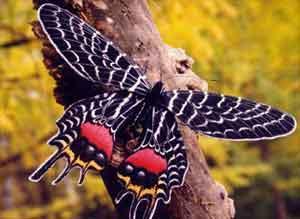 """Одну из самых чудесных бабочек мира не случайно плавали  """"Слана Бутана """"."""