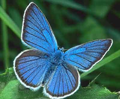 голубянка фото бабочка фото